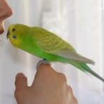 Девушка держит попугая возле губ