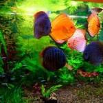 Дискусы в зеленом аквариуме