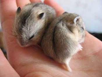 Два джунгарских хомячка на руке