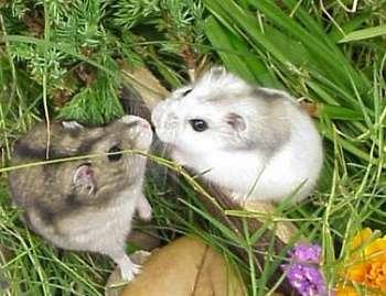 Два джунгарских зомяка на лужайке
