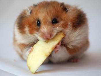 Джунгарик ест яблоко