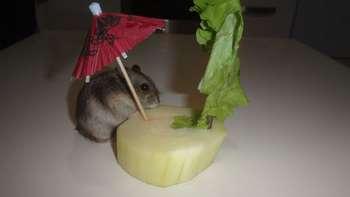 Джунгарский хомячок ест блюдо