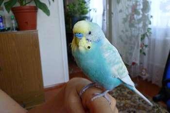 Голубой волнистик