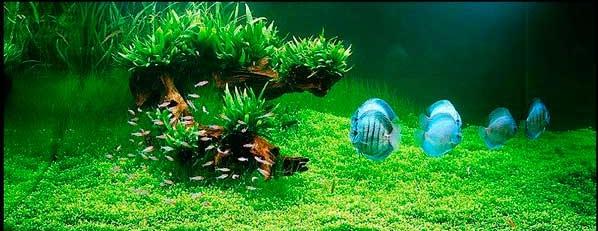 Голубые дискусы в зеленом аквариуме