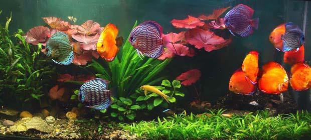 Красивый аквариум с дискусами