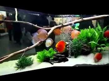 Оформление аквариума с дискусами