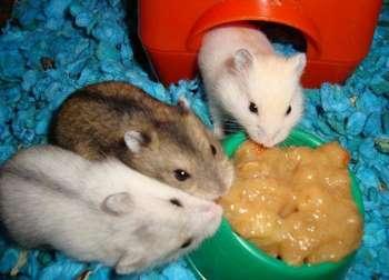Три хомячка едят