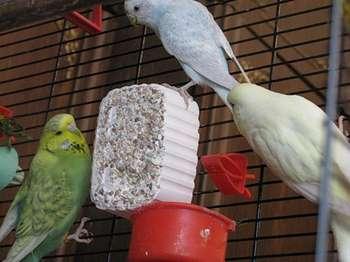 Три попугая едят минеральный камень