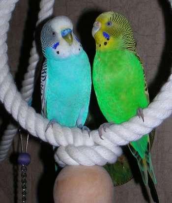 Волнистые попугаи сидят на канатике