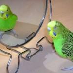 Волнистый попугай перед зеркалом