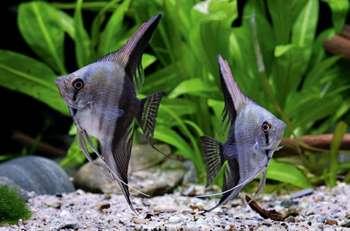 Две серые скалярии в аквариуме