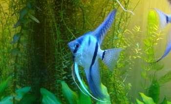 Голубая скалярия в аквариуме
