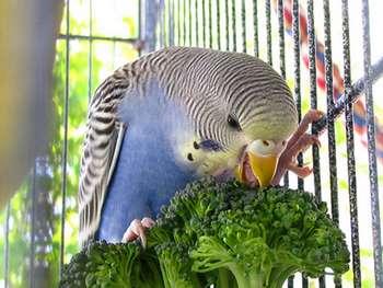 Голубой волнистый попугай ест брокколи