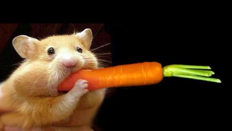 Хомяк пытается съесть целую морковку