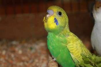 Маленький зеленый волнистый попугай
