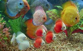 Много дискусов в аквариуме