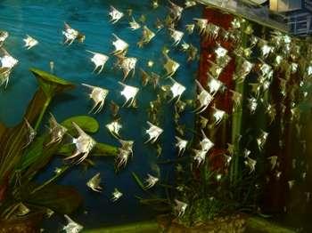 Очень много скалярий в огромном аквариуме