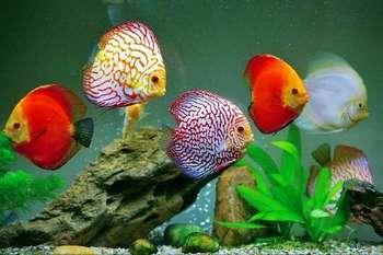Разноцветные дискусы в аквариуме