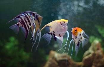 Разноцветные скалярии в аквариуме
