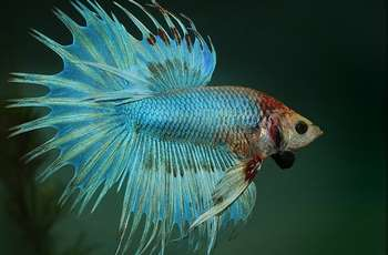 Рыбка бирюзовый петушок