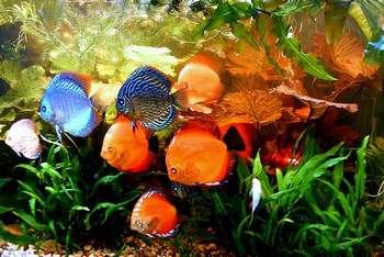 Семь дискусов в аквариуме