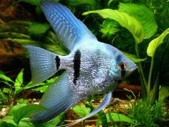 Серебристая скалярия в аквариуме