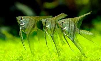 Три аквариумные скалярии