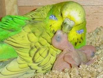 Волнистый попугай с птенцом