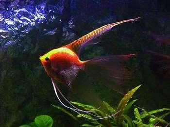 Яркая аквариумная скалярия
