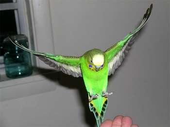 Зеленый попугай взлетает