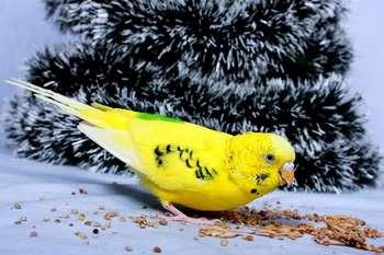 Желтый волнистый попугай ест корм