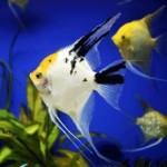 Черно-белые скалярии в аквариуме