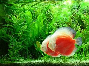 Два бело-рыжий дискуса в аквариуме