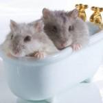 Два хомячка в маленькой ванной