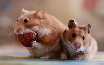 Два хомяка едят клубнику