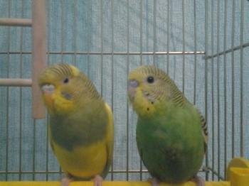 Два зеленый попугая подозрительно смотрят