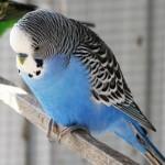 Голубой попугай нахохлился