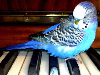 Голубой волнистик сидит на пианино