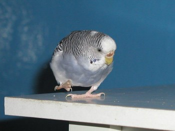 Голубой волнистый попугай шагает по столу