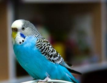 Голубой волнистый попугай в квартире