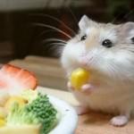 Хомяк ест овощи рядом с большой тарелкой