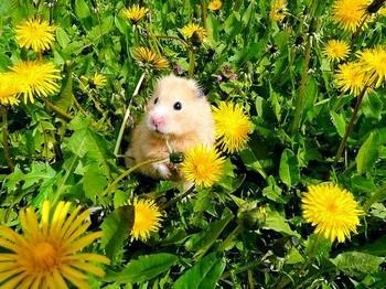 Хомяк на полянке с цветами