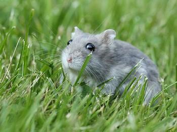 Хомяк сидит в траве