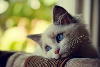 Кошка с голубыми глазами смотрит в окно