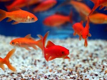 Маленькие золотые рыбки