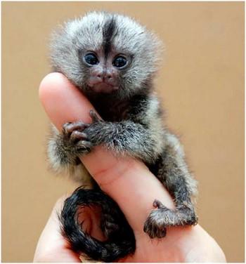 Миниатюрная обезьянка на пальце