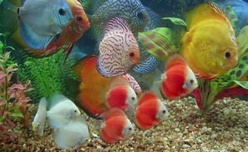 Много разноцветных дискусов в аквариуме