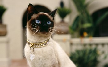 Персидская кошка с красивым ошейником