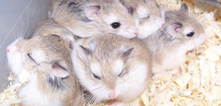 Пять джунгарских хомяков в клетке