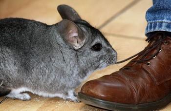 Шиншилла возле ботинка